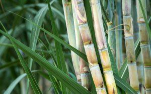 Zuckerrohr: Bioplastik aus Bagasse wird aus Zuckerrohr Restfasern gewonnen