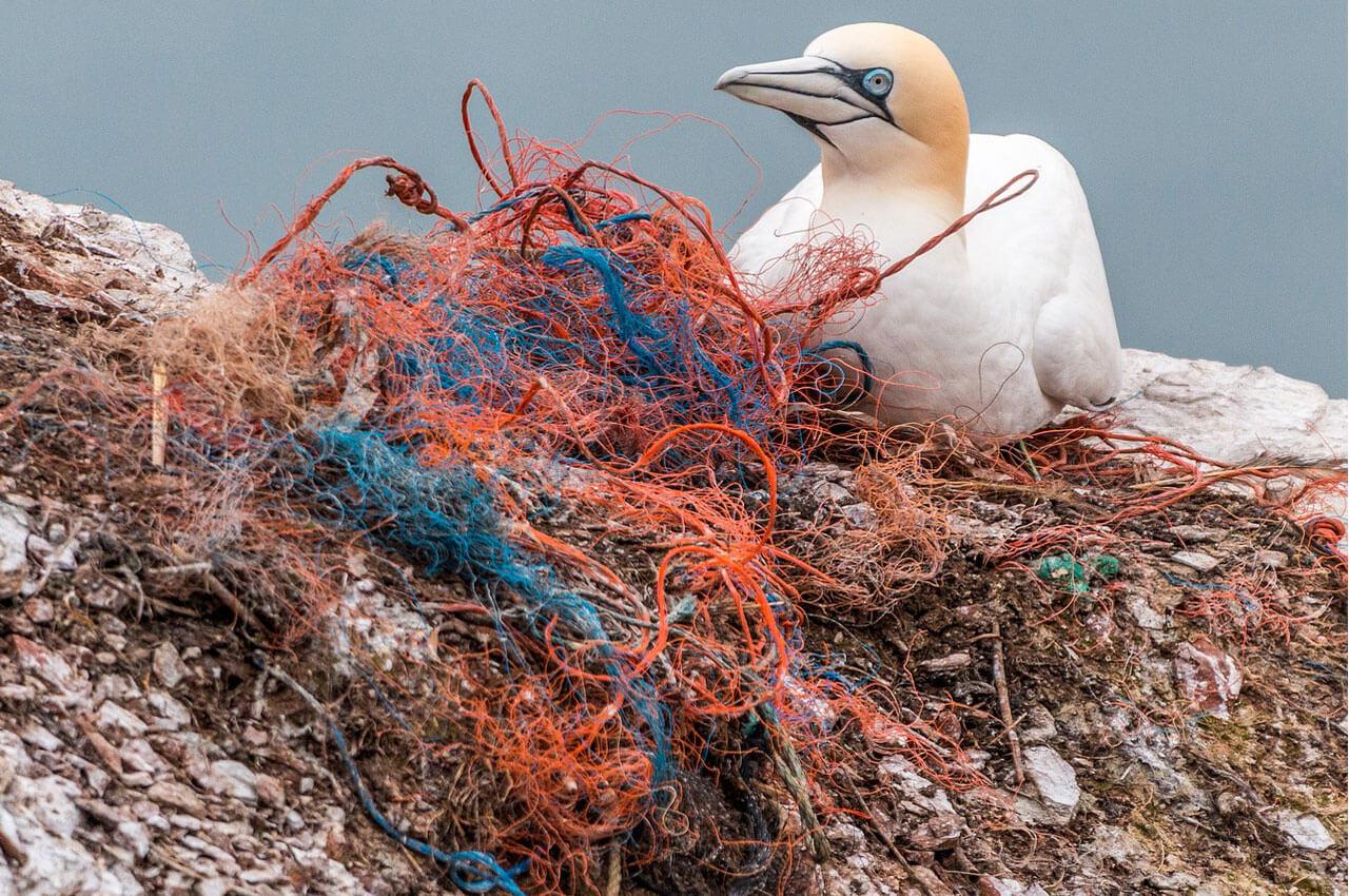 Basstölpel sitzt auf einem alten Fischernetz
