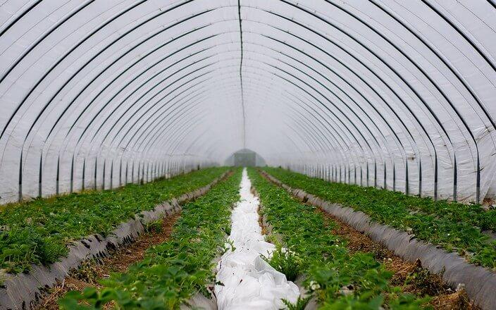 Gewächshaus aus Plastik mit Mulchen für den Erdbeeranbau